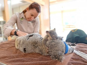 koala-800-730x547